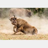 "Bisonte europeo (Bison bonasus) ""Francisco Álvarez Pérez"""